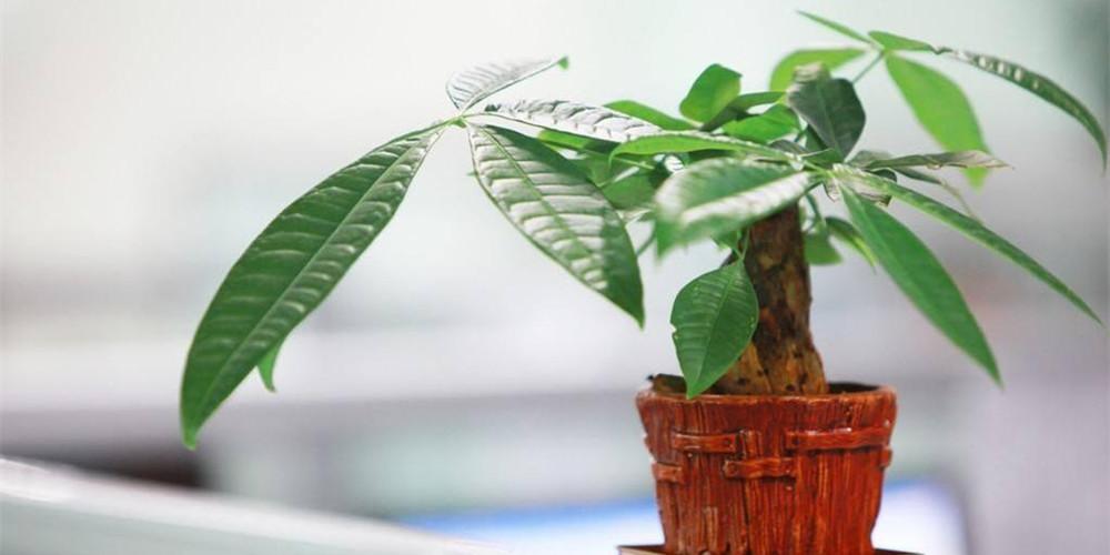 家里摆放招财树有什么作用 招财树的摆放禁忌有哪些